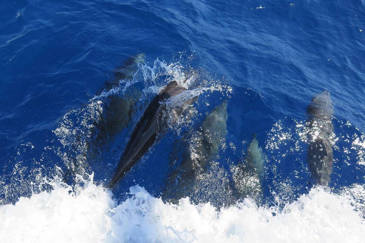 dolphin Komodo