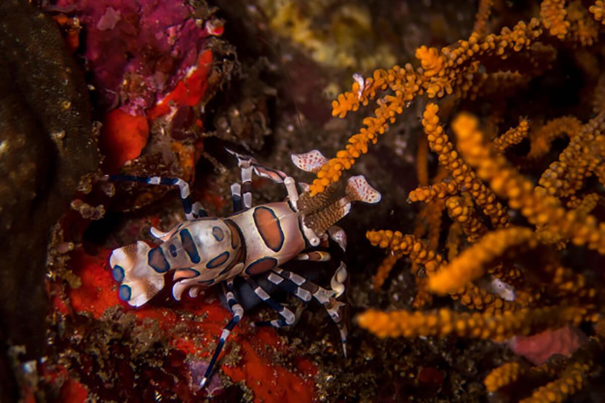 harlequin shrimp in Pasarwajo