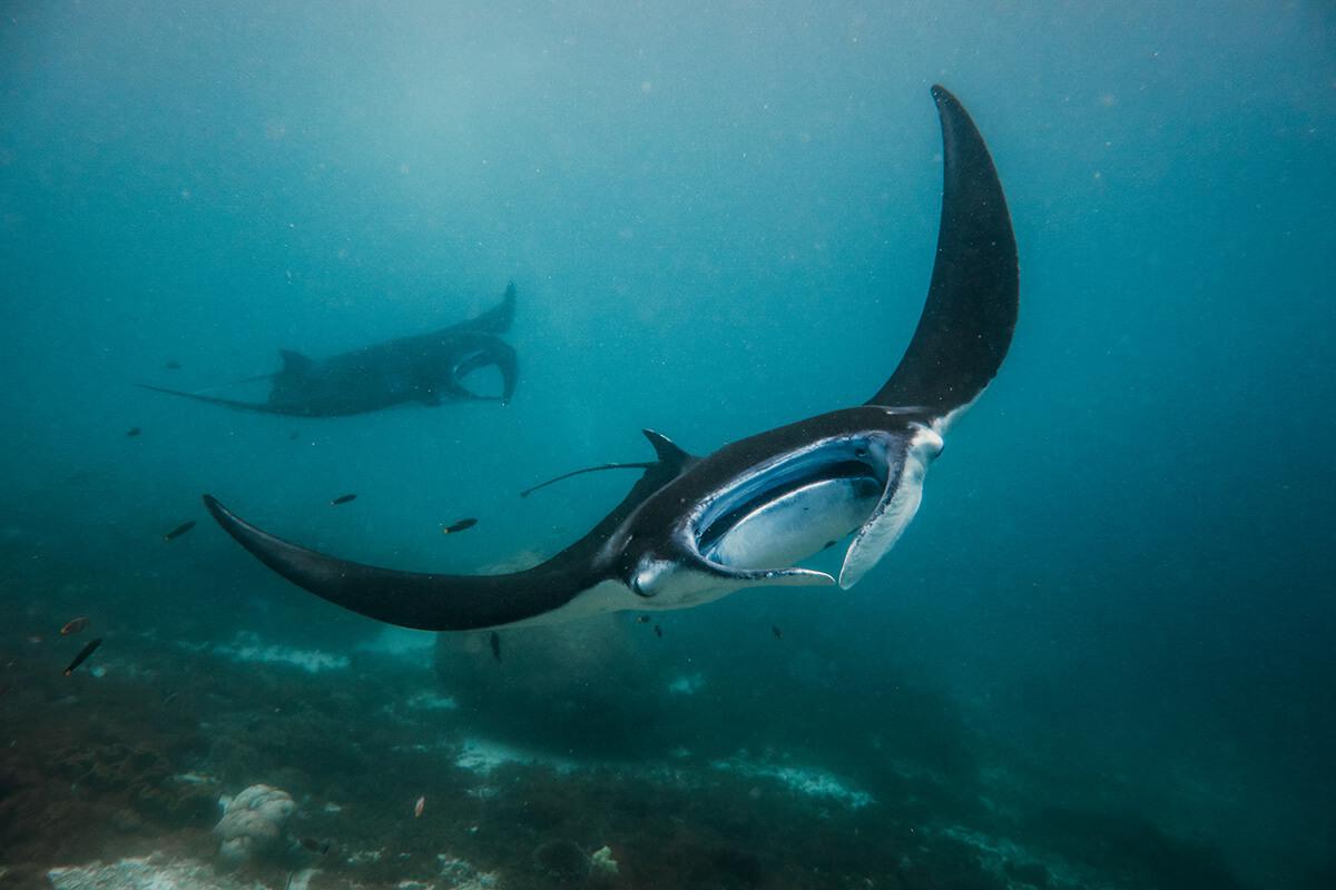 diving with manta ray Komodo