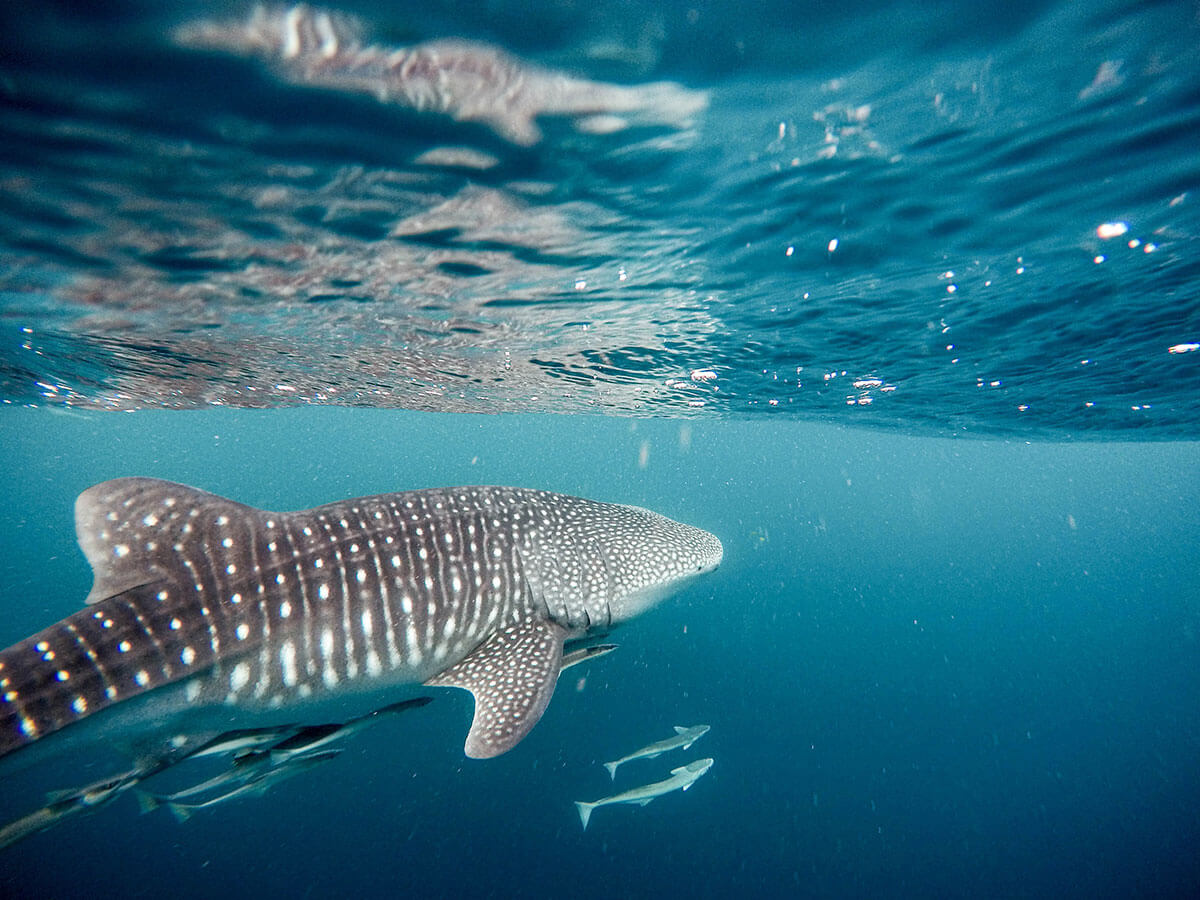 Whale sharks in Indonesia
