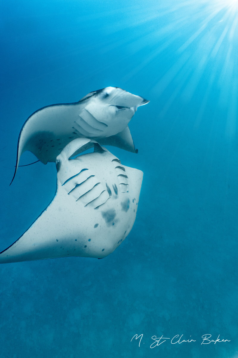 Manta rays conservation Indonesia